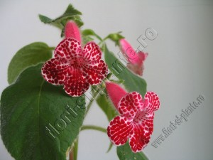 Kohleria Monte Friendship