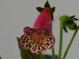 Kohleria Yf's Sweet and Fresh