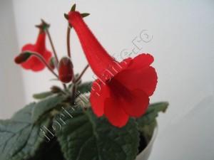 Sinningia Red Raindrops 8