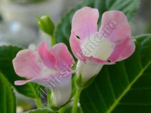 Sinningia Sweet Pink 1