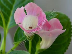 Sinningia Sweet Pink 2