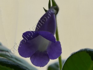 Sinningia Luci's Blue dream 1