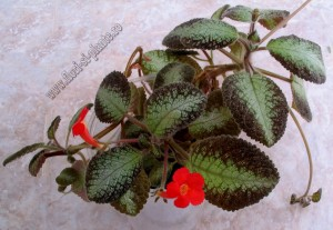 Episcia Country Cowboy 2