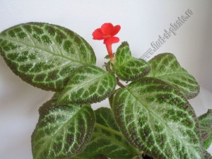 Episcia Faded Jade 3