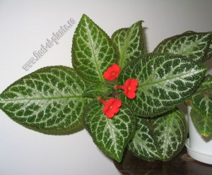 Episcia Faded Jade 6