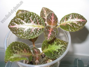 Episcia Jim s double star 1