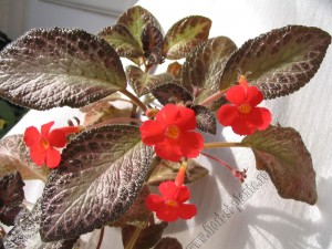 Episcia Jim s double star 6
