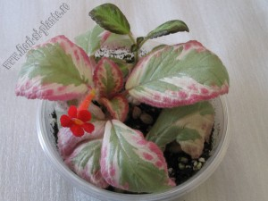 Episcia Pink Shimmer Valley 4