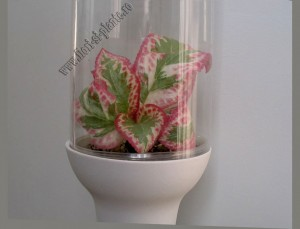 Episcia Pink Shimmer Valley 5