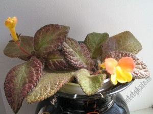 Episcia Showtime 10
