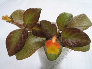 Episcia Showtime 9