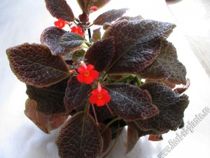 episcia Chocolate cream 10