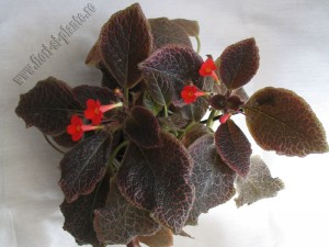 episcia Chocolate cream 12