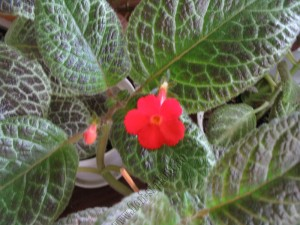 episcia Mont Royal 1