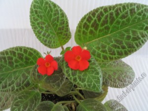 episcia Mont Royal 3