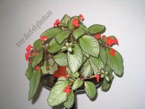 episcia green aga 10
