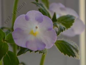 Achimenes Blueberry Ripple 5