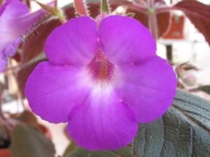 Achimenes Grandiflora 1