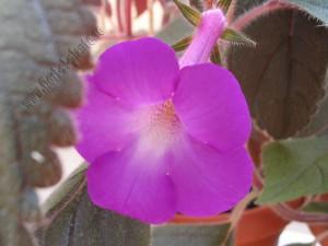 Achimenes Grandiflora 2