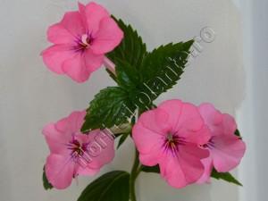 Achimenes Rosa Charm 16