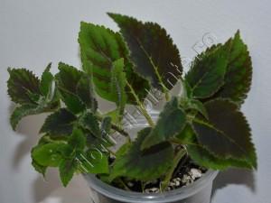 Kohleria my hibrids seria II 10