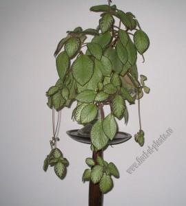 episcia green aga 9