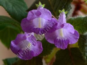 Eucodonia hibrid 8 - Copy