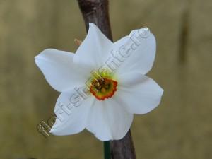 Narcisa alba 1