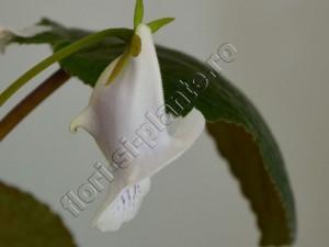 Sinningia Eumorpha Saltao 11