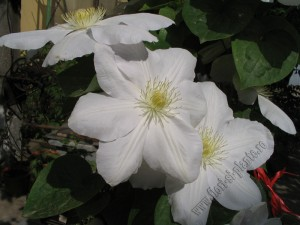 Clematita Madame le coultre 1