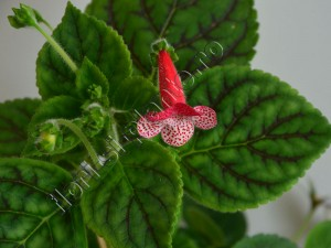 Kohleria Luci's Dots on Cherry 2