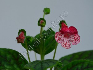 Kohleria Luci's Dots on Cherry 5