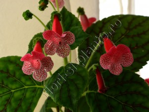 Kohleria Luci's Dots on Cherry 6