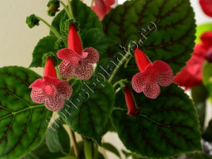 Kohleria Luci's Dots on Cherry 8
