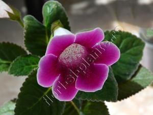 Sinningia Luci's VioletRed II 1