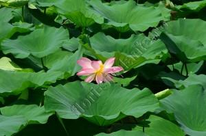 Lotus 3