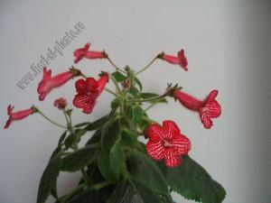 Kohleria Amabilis 10