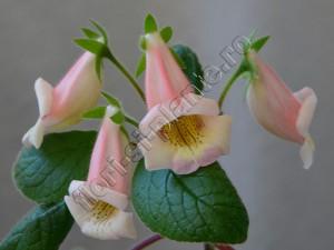 Sinningia HCY's Perfumer 18