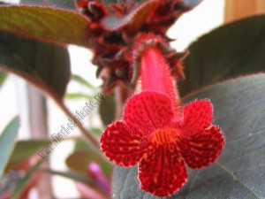 Kohleria Dragon Blood 3