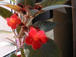 Kohleria Dragon Blood 5