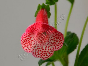 Kohleria Luci's Dots on Cherry 10