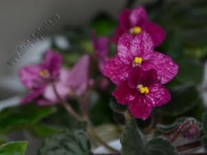 Saintpaulia Buckeye Cherry Freckles 12