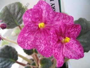 Saintpaulia Buckeye Cherry Freckles 6