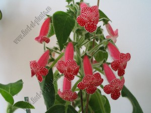 Kohleria Monte Friendship 10