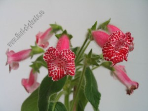 Kohleria Monte Friendship 6