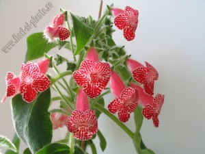 Kohleria Monte Friendship 8