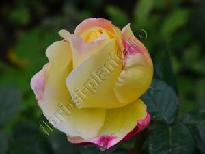 Trandafir 11