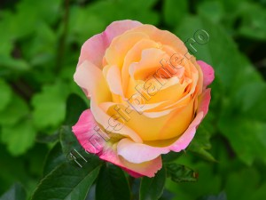 Trandafir 13
