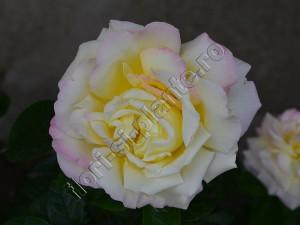 Trandafir 14