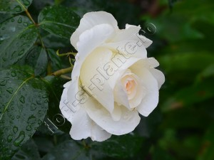 Trandafir 17
